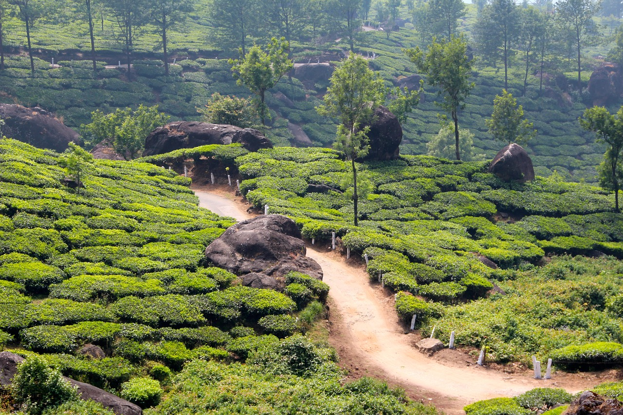 Tea plantation, India